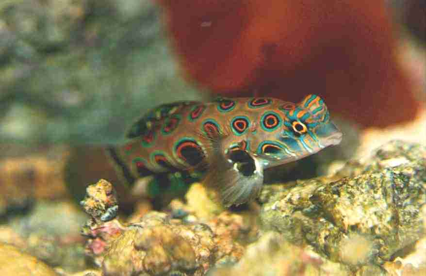 Psychedelic Goby