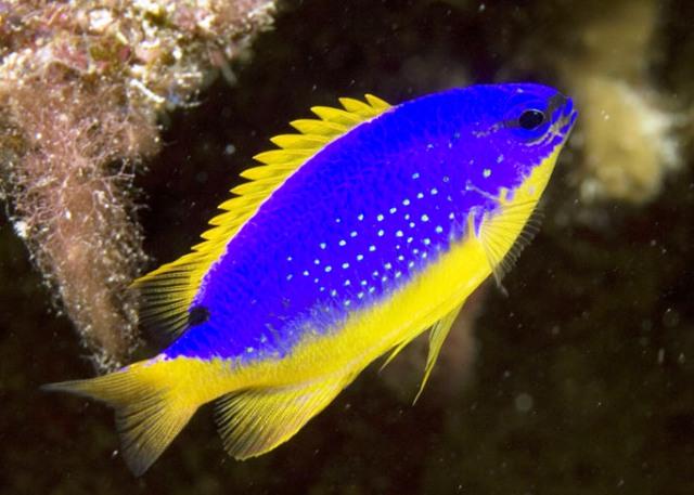 Fiji Blue Damsel