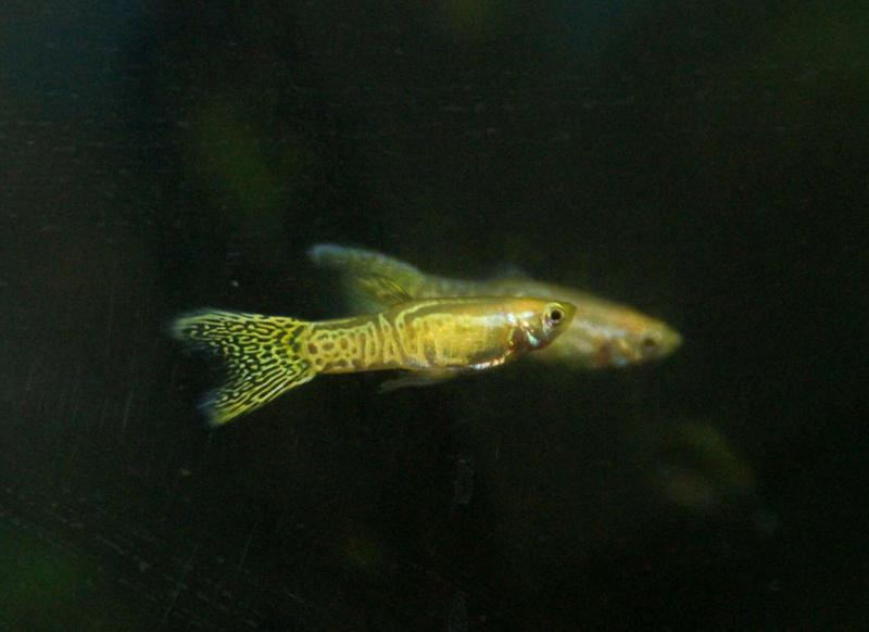 Gold Snakeskin Guppy