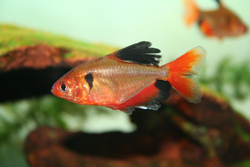 Serpae (longfin) Tetra