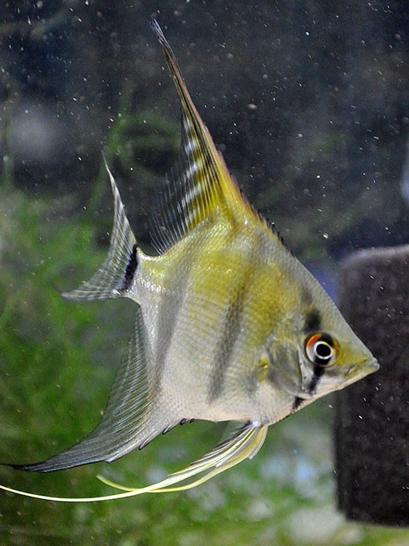 Silver Pearlscale Angelfish