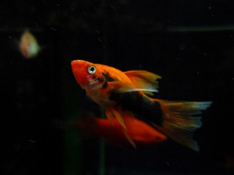 Red Tuxedo Swordtail