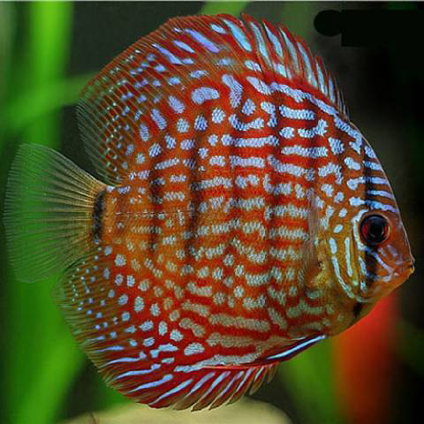 Royal Red Discus
